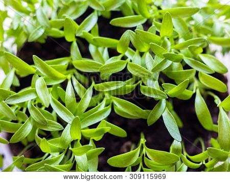 Close-up On Young Plantlets Of Coriander Or Chinese Parsley