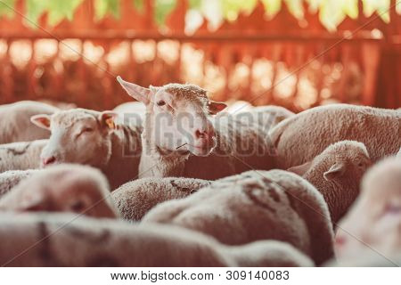 Sheep Flock In Pen On Dairy Farm, Cute Young Animals In Paddock