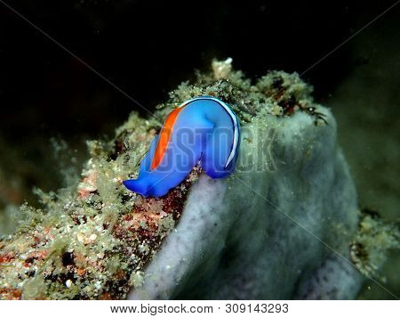 Closeup And Macro Shot Of Red-tipped Flatworm During A Leisure Dive In Mabul Island, Semporna, Tawau