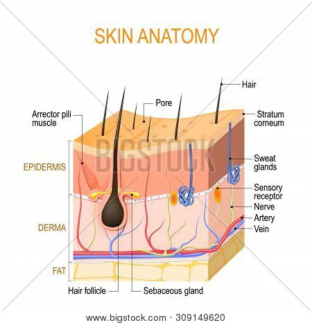Skin Anatomy. Layers: Epidermis (with Hair Follicle, Sweat And Sebaceous Glands), Derma And Fat (hyp