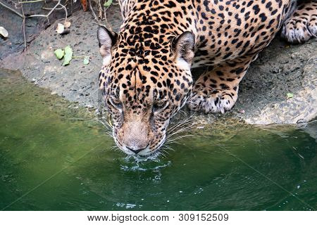 Leopard Is The Water In The Pond