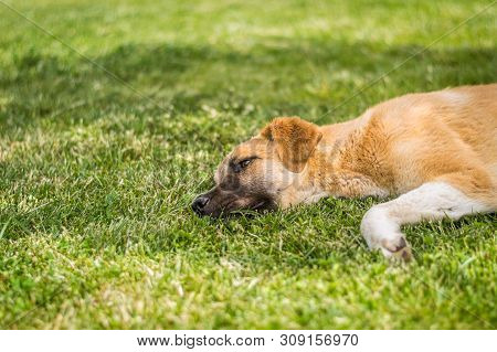 Brown Stray Dog Lying On The Grass In A Park On A Sunny Day.