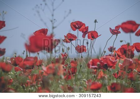 Beautiful Field Of Red Poppies. Remembrance Sunday Background.