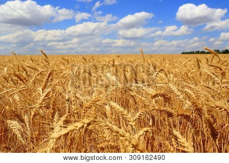 Nice scene grain wheat field  under clouds  blue sky