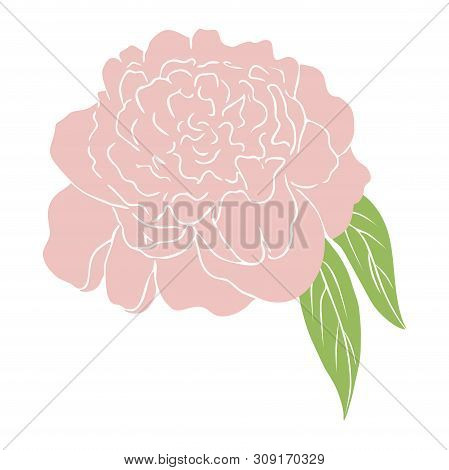 Pink Peony Flower. Colored Sketch Of Peony. Graphic Vector Illustration Of Peony Isolated On White B