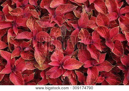 Bright red leaves of perennial plant coleus, plectranthus scutellarioides. Decorative red velvet coleus fairway plants. poster