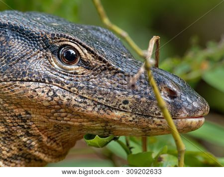 Asian Water Monitor - Varanus Salvator Also Common Water Monitor, Large Varanid Lizard Native To Sou