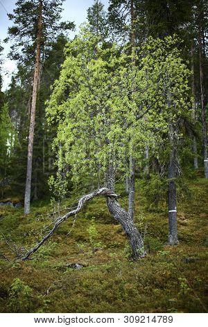 Gnarled Willow In Brannberget Naturreservat In Northern Sweden