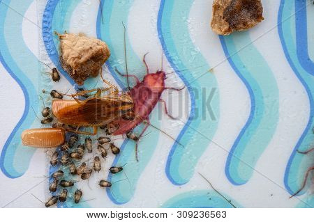 Cockroach And Egg Sack With Lots Of Baby Cockroaches Stuck On A Catcher