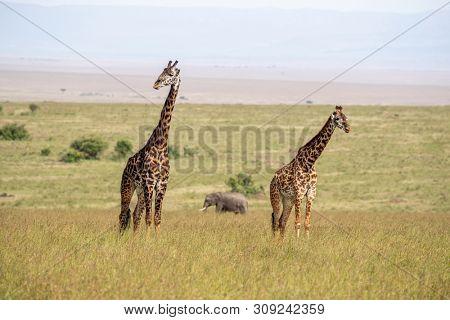 Two giraffes and an elephant in the long grass of the Masai Mara, Kenya