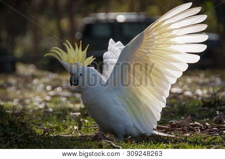 Wild Sulphur-crested Cockatoo Landing On The Ground With Its White Wings In Full Wingspan, Bright Ye