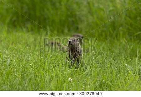 Groundhog (marmota Monax), Also Known As A Woodchuck On The Meadow.