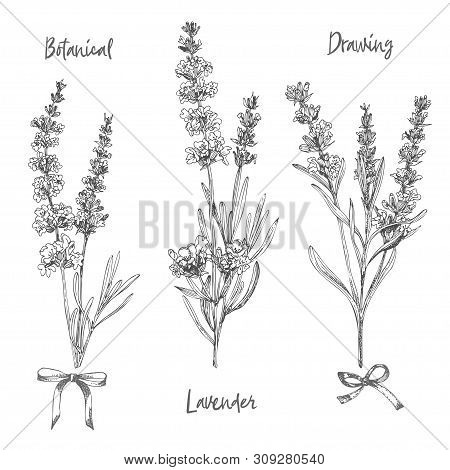 Set Of Hand Drawn Sketch Of Lavender Flower And Cute Bows Isolated On White Background. Vintage Vect