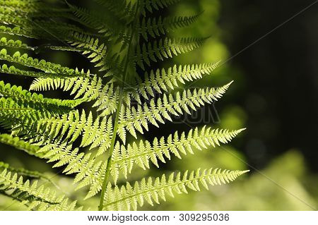 Close up of Fern in forest Nature background Fern leaf in forest Nature background Fresh Fern leaf in sun Foliage sping woods Nature background Green fern in Natural environment in forest. Fern grow in outdoors Nature background Macro of spring fern leaf.