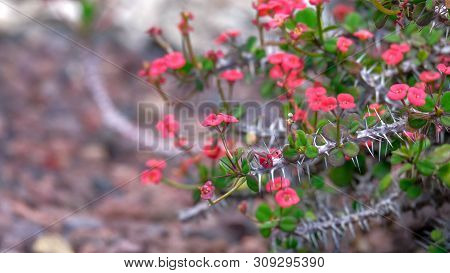Euphorbia Milli Plant, Crown Of Thorns Or Christ Thorn Flower On Volcanic Stones Background. Crown O