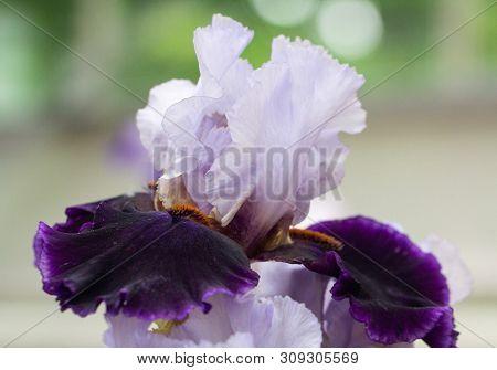 Closeup Of Flower Bearded Dainty Purple White Iris. Macro Photo.