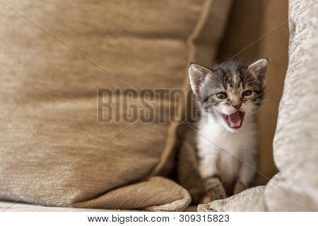 Playful kitten playing on the sofa, hiding between cushions and meowing poster