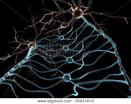 Neuron Oligodendrocytes