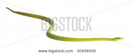Eastern green mamba  - Dendroaspis angusticeps, poisonous, white background poster