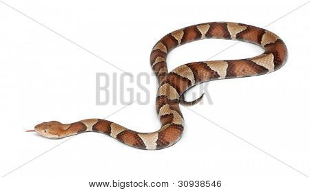 Copperhead snake or highland moccasin - Agkistrodon contortrix, poisonous, white background