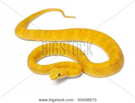 Yellow Eyelash Viper - Bothriechis schlegelii, poisonous, white background
