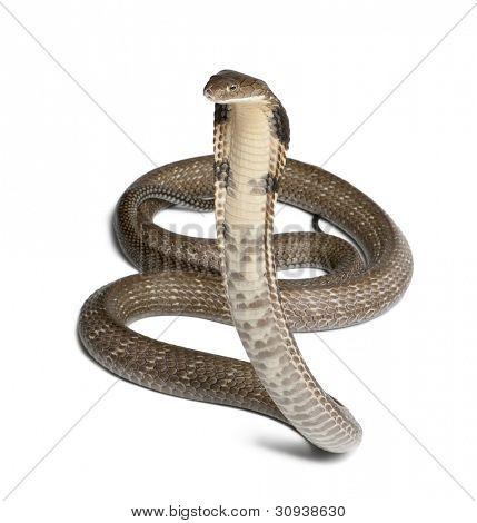 rei cobra - Ophiophagus hannah, fundo branco, venenoso