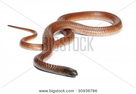 Egyptian cobra - Naja haje, poisonous, white background poster