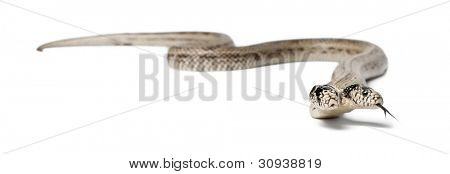 two headed eastern kingsnake - Lampropeltis getula californiae, white background