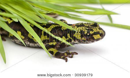 Marbled Newt hiding under blades of grass - Triturus marmoratus