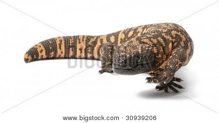 Gila monster - Heloderma suspectum, poisonous, white background poster