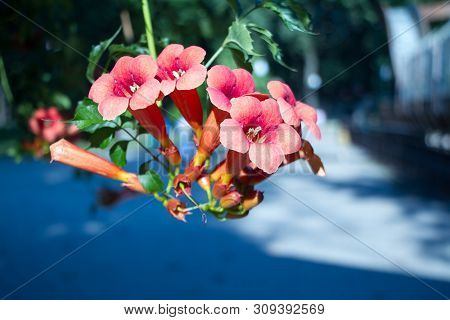Close Up Of The Big Salmon Pink Colored, Trumpet Shaped Flowers Of Trumpet Creeper Or Trumpet Or Cow