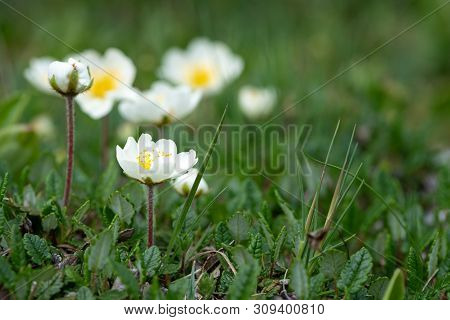 Closeup of mountain avens (Dryas octopetala, Rosaceae) in the Austrian Alps poster