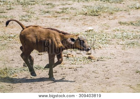 African Buffalo Calf Running In Kruger National Park, South Africa ; Specie Syncerus Caffer Family O