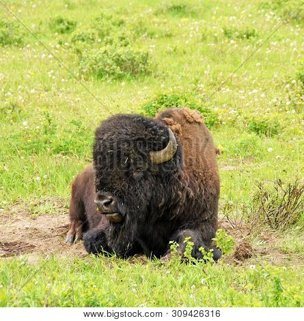 Bison Resting In The Prairie Of Wyoming, Usa In Natural Environment