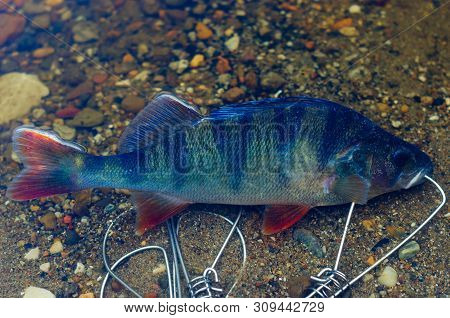 Caught Perch In Fish Stringer In Clear Water Floats Over The Rocks At The Bottom.