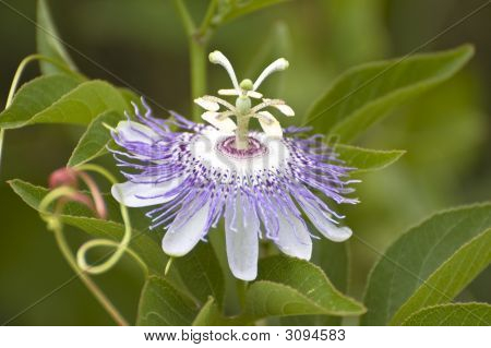 Soft Focus Purple Passionflower