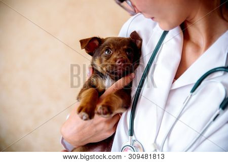 The Vet Examines A Puppy In The Hospital. The Little Dog Got Sick. Puppy In The Hands Of A Veteran D