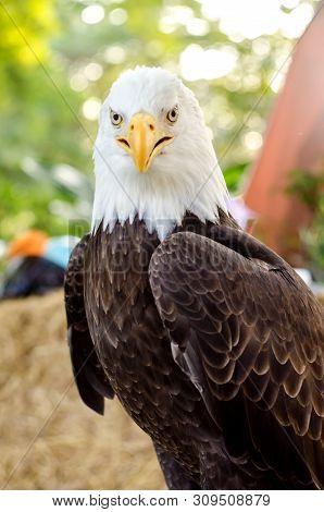 Bald Eagle (white-head Eagle, Bald Eagle, American Eagle) A Portrait