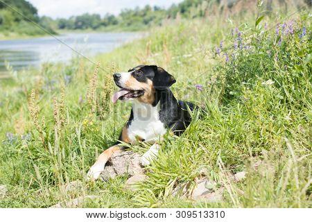 Entlebucher Mountain Dog; portrait of a dog close-up