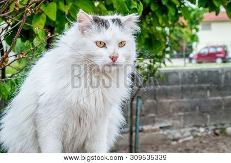 Portrait Of A Dirty White Colored Stray Cat With Yellow Eyes Sitting On The Wall.