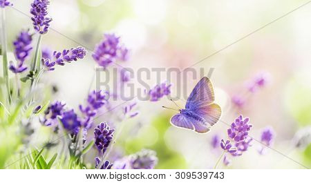 Blossoming Lavender Flowers With Flying Butterfly Background . Lavender Field At Lit By Morning Sunl