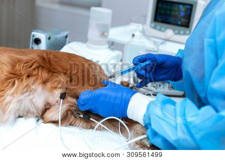 A veterinarian is administering an anesthetized dog . A dog with a catheter in its paw is lying on the operating table in a veterinary clinic. A Cocker Spaniel dog is awaiting surgery. poster