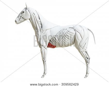 3d rendered medically accurate illustration of the equine muscle anatomy - pectoralis ascendens