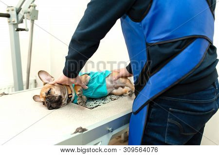 Veterinarian Assistant In Protective Vest Hold Down Prepare French Bulldog To X-ray Scanning.