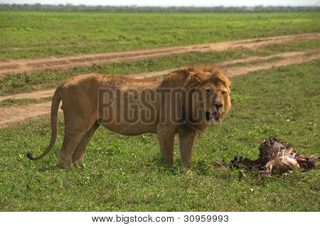 Wild african lion and his his kill, a dead wildebeest