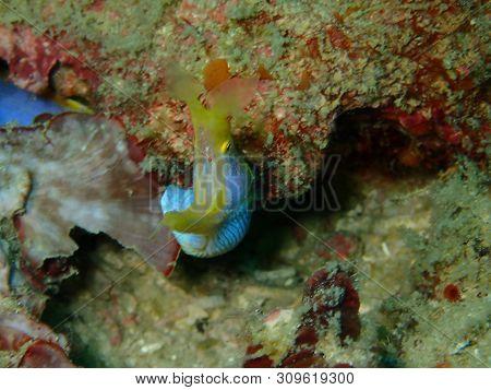 Closeup With Blue Ribbon Eel During A Leisure Dive In Mabul Island, Semporna. Tawau, Sabah. Malaysia