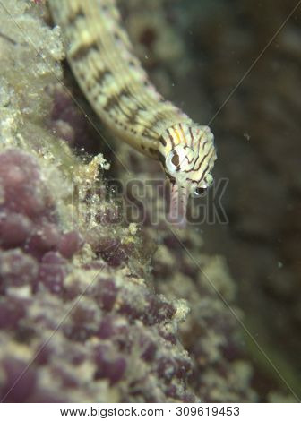 Closeup And Macro Shot Of The Yellow-banded Pipefish During A Leisure Dive In Mabul Island, Semporna