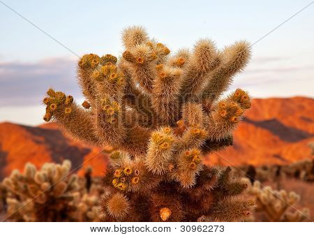 Cholla Cactus Garden Sunset Mojave Desert Joshua Tree National Park California Teddy bear Cholla Cactus Cylindropuntia bigelovii Named for a teddy bear because from distance looks furry. poster