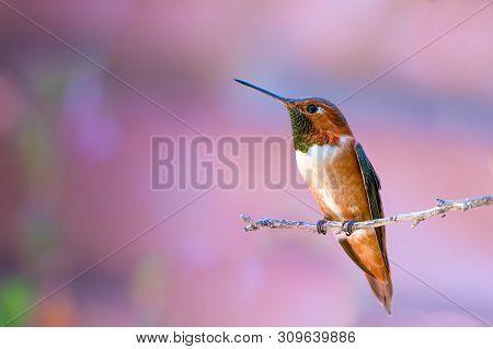 Rufous Hummingbird Selasphorus Rufus Negative Space On Branch