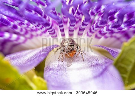 Beautiful female Peppered Jumper looking at the viewer, having lunch in a beautiful, quiet spot inside a Passion vine flower